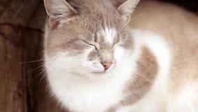 Χαριτωμένη αμερικανική κοντή γάτα τρίχας πορτρέτου κινηματογραφήσεων σε πρώτο πλάνο Χαριτωμένο πρόσωπο γατών απόθεμα βίντεο