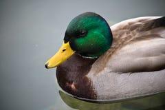 Χαριτωμένη αρσενική πάπια πρασινολαιμών που κολυμπά στην καθαρή λίμνη αιμορραγημένος Στοκ φωτογραφία με δικαίωμα ελεύθερης χρήσης