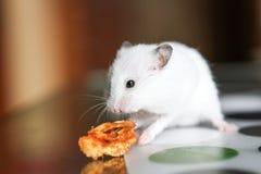 Χαριτωμένη αστεία άσπρη χάμστερ που τρώει τη Apple Στοκ εικόνες με δικαίωμα ελεύθερης χρήσης