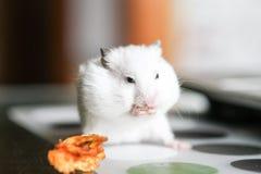 Χαριτωμένη αστεία άσπρη χάμστερ που τρώει τη Apple Στοκ φωτογραφία με δικαίωμα ελεύθερης χρήσης