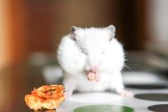 Χαριτωμένη αστεία άσπρη χάμστερ που τρώει τη Apple Στοκ Εικόνες