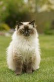 Χαριτωμένη γάτα γατακιών Ragdoll με τα μπλε μάτια που κάθονται κατευθείαν τη χλόη σε έναν κήπο Στοκ φωτογραφίες με δικαίωμα ελεύθερης χρήσης