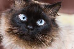 Χαριτωμένη γάτα με τα μπλε μάτια Στοκ Εικόνα
