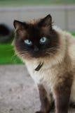 Χαριτωμένη γάτα με τα μπλε μάτια Στοκ Εικόνες