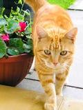 Χαριτωμένη γάτα πιπεροριζών, που περπατά στο σπίτι στοκ φωτογραφίες με δικαίωμα ελεύθερης χρήσης