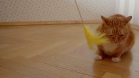 Χαριτωμένη γάτα πιπεροριζών που προσπαθεί να πιάσει ένα tickler εύθυμος και χαρούμενος στο σπίτι φιλμ μικρού μήκους