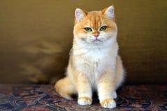 Χαριτωμένη γάτα στον καναπέ Στοκ Φωτογραφίες