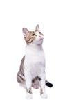 Χαριτωμένη γάτα, συνεδρίαση και να ανατρέξει shorthair η ανασκόπηση απομόνωσε το λευκό στοκ εικόνες