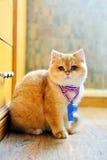 Χαριτωμένη γάτα συριγμού κυκλοφορίας Στοκ Φωτογραφίες