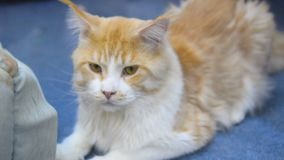 Χαριτωμένη γάτα του Μαίην Coon απόθεμα βίντεο