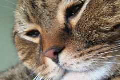 Χαριτωμένη γάτα scottishfold στοκ εικόνες