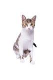 Χαριτωμένη γάτα shorthair, 9 monts παλαιά, που κάθεται μπροστά από το άσπρο backg στοκ φωτογραφία με δικαίωμα ελεύθερης χρήσης