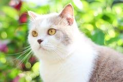 Χαριτωμένη γκρίζα σκωτσέζικη γάτα πτυχών στοκ φωτογραφίες με δικαίωμα ελεύθερης χρήσης