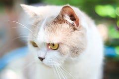 Χαριτωμένη γκρίζα σκωτσέζικη γάτα πτυχών στοκ εικόνες με δικαίωμα ελεύθερης χρήσης