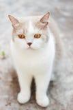 Χαριτωμένη γκρίζα σκωτσέζικη γάτα πτυχών στοκ εικόνα