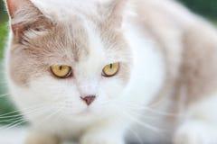 Χαριτωμένη γκρίζα σκωτσέζικη γάτα πτυχών στοκ φωτογραφία