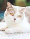 Χαριτωμένη γκρίζα σκωτσέζικη γάτα πτυχών στοκ εικόνες