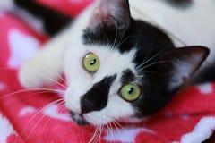 Χαριτωμένη γραπτή γάτα μπροστά από ένα κόκκινο κάλυμμα Στοκ Φωτογραφίες