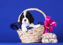 Χαριτωμένη γραπτή συνεδρίαση κουταβιών σε ένα καλάθι Όμορφο σκυλί σε ένα μπλε υπόβαθρο Σπανιέλ κουταβιών Στοκ Εικόνα