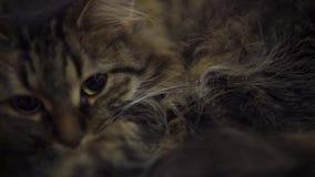 Χαριτωμένη εσωτερική τιγρέ γάτα απόθεμα βίντεο