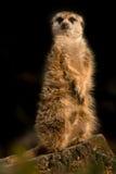 Χαριτωμένη ζωική συνεδρίαση meerkat κατακόρυφα στο ρολόι Στοκ εικόνα με δικαίωμα ελεύθερης χρήσης