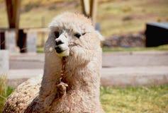 Χαριτωμένη και περίεργη προβατοκάμηλος που ανατρέχει στοκ φωτογραφίες με δικαίωμα ελεύθερης χρήσης