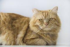 Χαριτωμένη καφετιά συνεδρίαση κατοικίδιων ζώων γατών, λατρευτό γατάκι που εξετάζει τη μέση κινηματογράφηση σε πρώτο πλάνο καμερών Στοκ Εικόνες