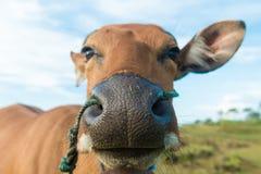 Χαριτωμένη κινηματογράφηση σε πρώτο πλάνο αγελάδων Στοκ Φωτογραφίες