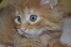 Χαριτωμένη κινηματογράφηση σε πρώτο πλάνο γατακιών Στοκ Εικόνα