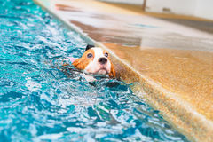 Χαριτωμένη κολύμβηση λαγωνικών κουταβιών Στοκ φωτογραφία με δικαίωμα ελεύθερης χρήσης