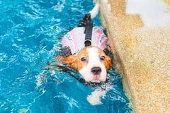 Χαριτωμένη κολύμβηση λαγωνικών κουταβιών Στοκ Φωτογραφίες