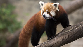 Χαριτωμένη κόκκινη αναρρίχηση panda Στοκ φωτογραφία με δικαίωμα ελεύθερης χρήσης