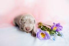 Χαριτωμένη κόκκινη εβδομάδα ηλικίας σκυλιών κουταβιών weimaraner στοκ εικόνες