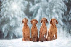 Χαριτωμένη κόκκινη συνεδρίαση visla σκυλιών τέσσερα στο χιόνι, πορτρέτο στοκ φωτογραφία