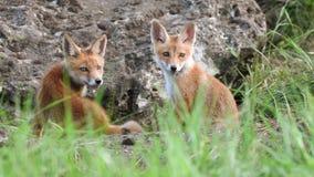 Χαριτωμένη κόκκινη cub αλεπούδων συνεδρίαση κοντά στο λαγούμι του, Vulpes απόθεμα βίντεο