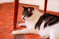 Χαριτωμένη λίγη γάτα σπιτιών χαλαρώνει και απόλαυση του δωματίου σας Στοκ φωτογραφία με δικαίωμα ελεύθερης χρήσης