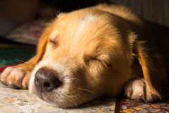 Χαριτωμένη μετακίνηση με μπουλντόζα σκυλιών κινηματογραφήσεων σε πρώτο πλάνο πορτρέτου κουταβιών στο πάτωμα στοκ φωτογραφίες