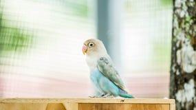 Χαριτωμένη μπλε κρητιδογραφία lovebird στοκ εικόνες
