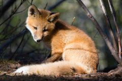 Χαριτωμένη νέα κόκκινη αλεπού στο ηλιόλουστο σημείο στο δάσος στοκ εικόνα