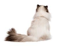 Χαριτωμένη νέα περσική γάτα σφραγίδων colourpoint που φωτογραφίζεται από πίσω Στοκ εικόνα με δικαίωμα ελεύθερης χρήσης