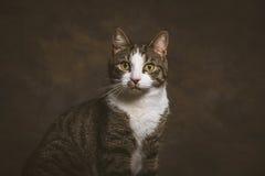 Χαριτωμένη νέα τιγρέ γάτα με το άσπρο στήθος στο σκοτεινό κλίμα υφάσματος Στοκ Φωτογραφίες