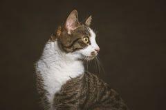 Χαριτωμένη νέα τιγρέ γάτα με το άσπρο στήθος στο σκοτεινό κλίμα υφάσματος Στοκ Εικόνες
