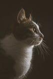 Χαριτωμένη νέα τιγρέ γάτα με το άσπρο στήθος στο σκοτεινό κλίμα υφάσματος Στοκ εικόνα με δικαίωμα ελεύθερης χρήσης