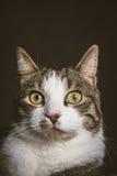 Χαριτωμένη νέα τιγρέ γάτα με το άσπρο στήθος στο σκοτεινό κλίμα υφάσματος Στοκ Φωτογραφία