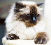 Χαριτωμένη οικογενειακή γάτα, περσική γάτα Στοκ Εικόνες