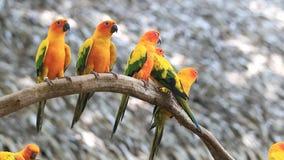Χαριτωμένη ομάδα πουλιών παπαγάλων Conure ήλιων σχετικά με τον κλάδο δέντρων φιλμ μικρού μήκους