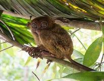 Χαριτωμένη πιό tarsier συνεδρίαση χαμόγελου σε ένα δέντρο, Bohol Στοκ Φωτογραφία