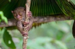 Χαριτωμένη πιό tarsier συνεδρίαση χαμόγελου σε ένα δέντρο, Bohol Στοκ Εικόνες