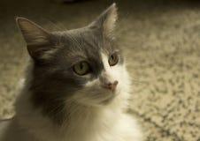 Χαριτωμένη πράσινη eyed χαλάρωση γατών Στοκ εικόνα με δικαίωμα ελεύθερης χρήσης