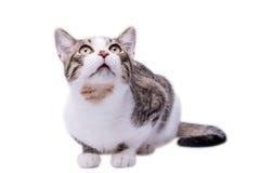 Χαριτωμένη ριγωτή γάτα shorthair που ανατρέχει, που απομονώνεται στο άσπρο backgro στοκ φωτογραφία με δικαίωμα ελεύθερης χρήσης